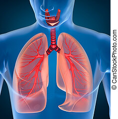 anatomía, respiratorio, Sistema, humano