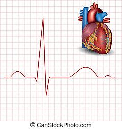 anatomía, ritmo de corazón, humano, normal