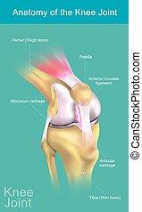 anatomía, rodilla, joint.