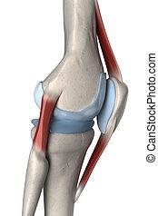 anatomía, rodilla, lateral, derecho