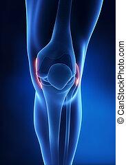 anatomía, rodilla, ligamento, vista anterior