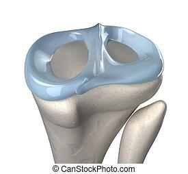 anatomía, rodilla, menisco