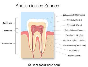 anatomía, sección, carta médica, cruz, diente, etiquetado, alemán