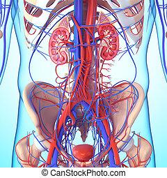 anatomía, sección, cruz, riñón