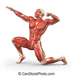 anatomía, sistema, muscular, hombre
