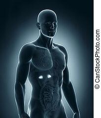 anatomía, suprarrenal, hombre