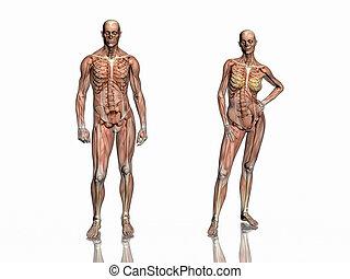 anatomía, transparant, músculos, con, skeleton.