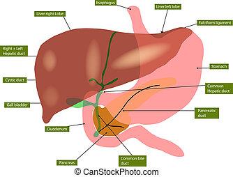 anatomía, vejiga, hígado