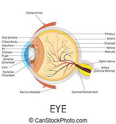 anatomi, ögon, mänsklig
