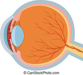anatomi, ögon, vektor, illustration