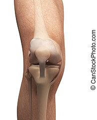 anatomi, av, den, knä