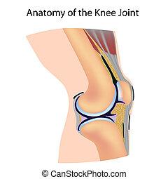 anatomi, av, den, knäled