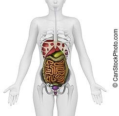 anatomi, av, kvinnlig, mage