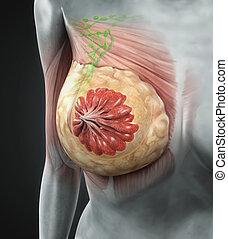 anatomi, bryst, kvindelig