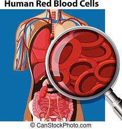anatomi, celler, blod, mänsklig, röd