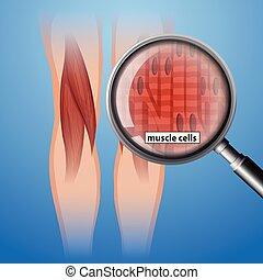 anatomi, celler, muskel, mänsklig