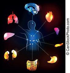 anatomi, design, mänsklig, färgrik