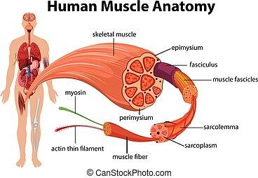 anatomi, diagram, muskel, mänsklig
