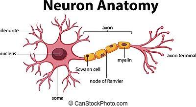anatomi, diagram, neuron