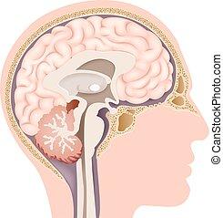 anatomi, hjärna, inre, mänsklig