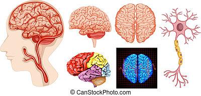 anatomi, hjärna, medicinsk, teknisk, mänsklig