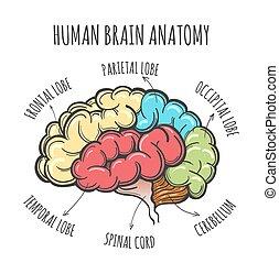 anatomi, hjärna, skiss, mänsklig