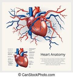anatomi, hjärta, vektor, mänsklig, illustration