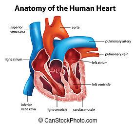 anatomi, hjerte, menneske