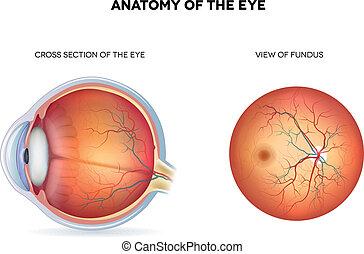 anatomi, i, den, øje, kors sektion, og, udsigter, i, fundus