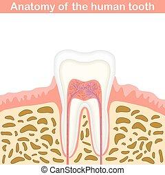 anatomi, i, menneske, tand