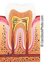 anatomi, illustration, mänsklig, tand