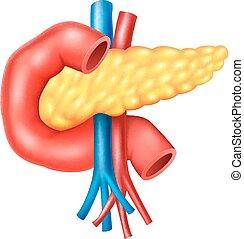 anatomi, inre, mänsklig, bukspottkörtel