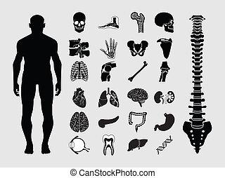 anatomi, mänsklig, ikonen