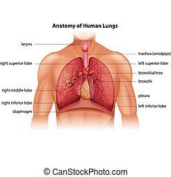 anatomi, mänsklig, lungan