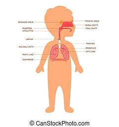 anatomi, mänsklig, respiratory system