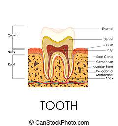 anatomi, mänsklig, tand