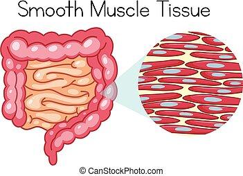 anatomi, muskel, slät, vävnad