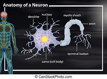 anatomi, neuron