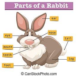 anatomi, söt, kanin