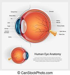 anatomi, vektor, ögon, mänsklig, illustration