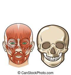 anatomi, vektor, ansiktsbehandling, kranium, mänsklig