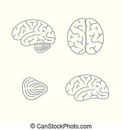 anatomi, vektor, illustration, hjärna, mänsklig