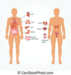 anatomi, vektor, illustration, man