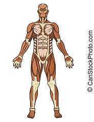 anatomi, vektor, mänsklig