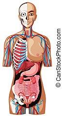 anatomi, vit, mänsklig, bakgrund
