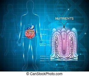 anatomia, absorção, intestinal, forro, nutrientes