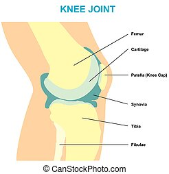 anatomia, articulação joelho