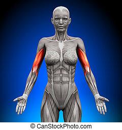 anatomia, bíceps, músculos, -, femininas