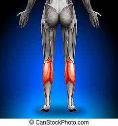 anatomia, bezerros, músculos, -, femininas