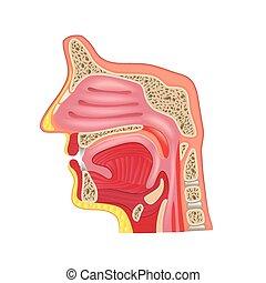 anatomia, bianco, vettore, isolato, naso